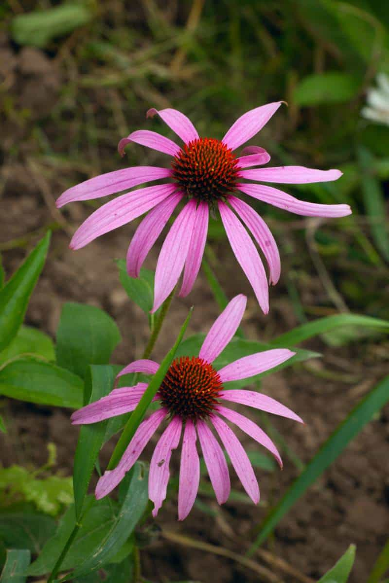 narrow-leaf coneflower_Echinacea angustifolia