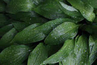 Narrow-leaved hosta (Hosta lancifolia)