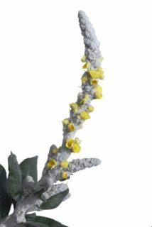 Nettle-leaved Mullein (Verbascum Chaixii)