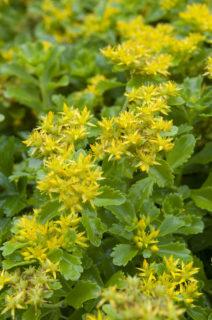 Orange stonecrop (Sedum kamtschaticum)