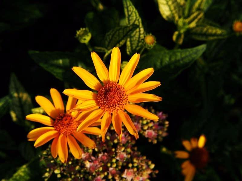 ox-eye daisy_Heliopsis 'Helhan' LORAINE SUNSHINE
