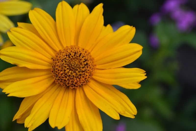 oxeye sunflower_Heliopsis helianthoides