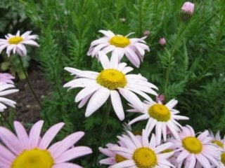 Painted daisy (Tanacetum coccineum)