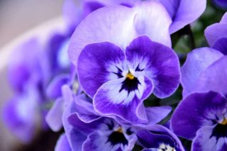Pansy (Viola × wittrockiana)