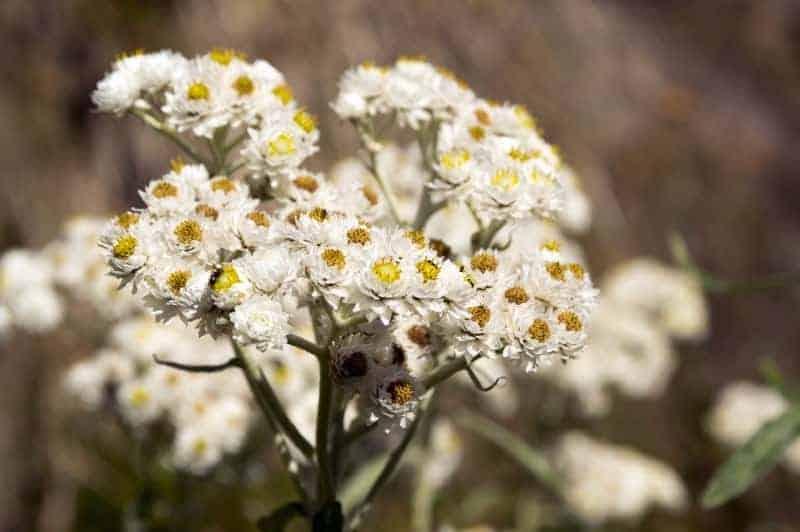 pearly everlasting_Anaphalis margaritacea