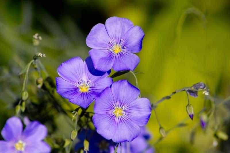 perennial flax_Linum perenne