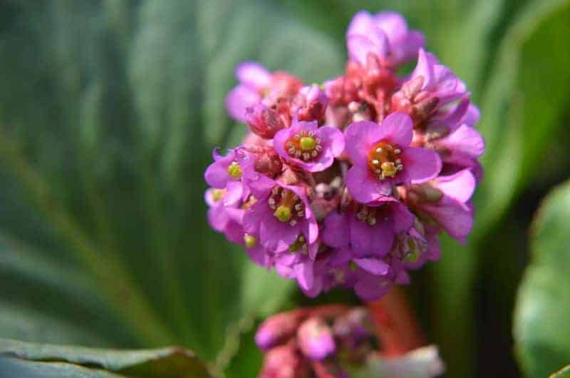 pigsqueak_Bergenia cordifolia