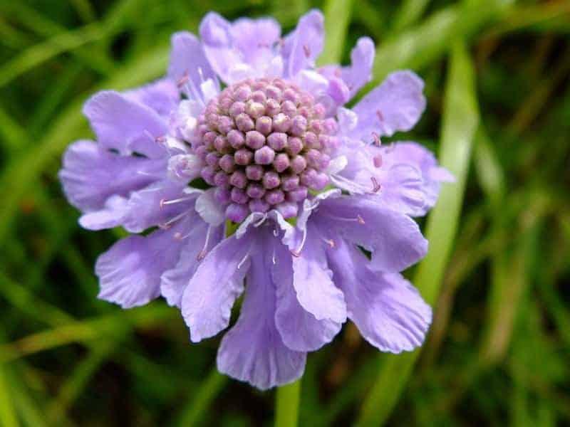 pincushion flower_Scabiosa japonica 'Blue Diamonds'