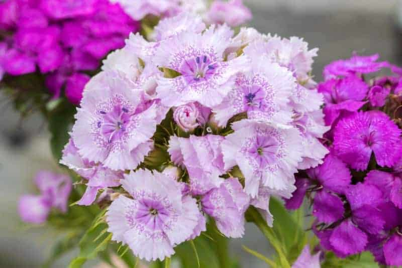 pink_Dianthus BOUQUET ROSE MAGIC