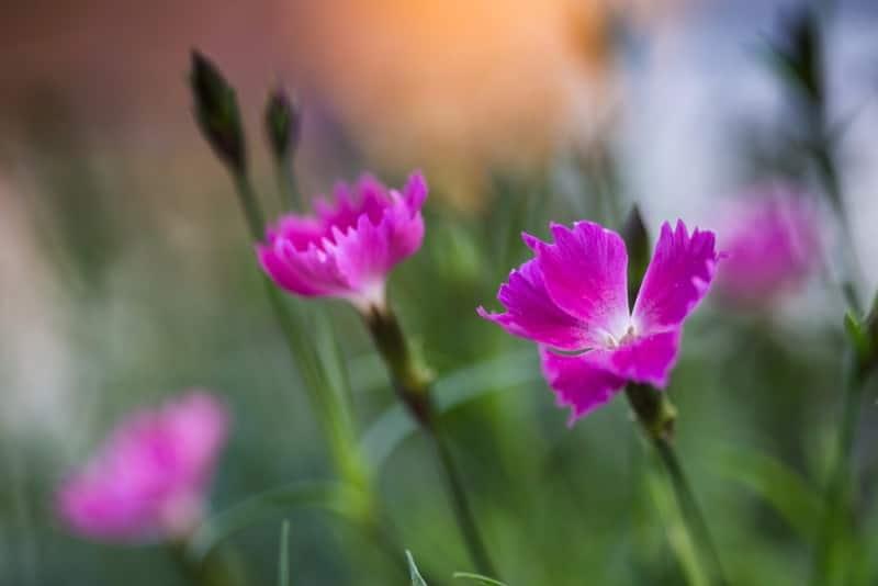 pink_Dianthus 'Kahori'
