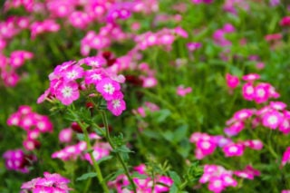 """Red campion (Silene dioica """"Clifford Moor"""")"""