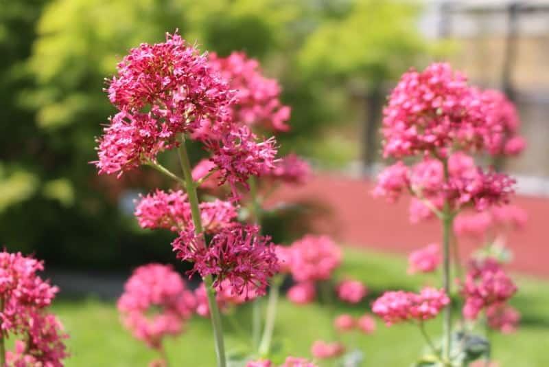 red valerian_Centranthus ruber