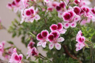 Regal geranium (Pelargonium × domesticum)