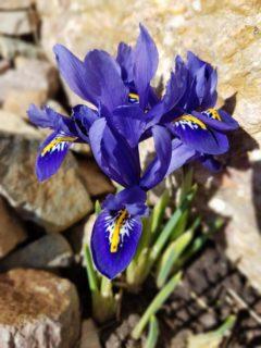 Reticulated iris (Iris reticulata)
