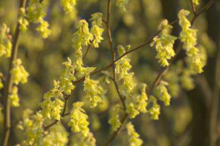 Rodgersia (Rodgersia aesculifolia)