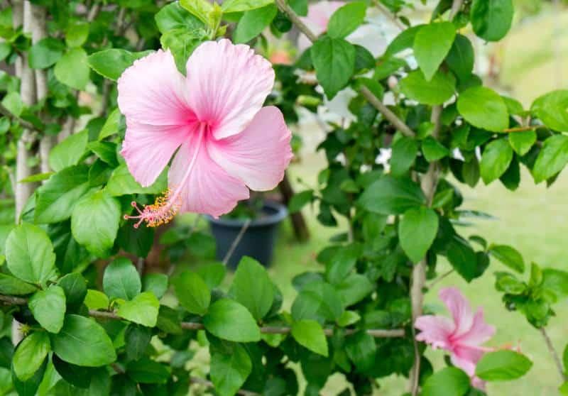 rose of Sharon_Hibiscus syriacus