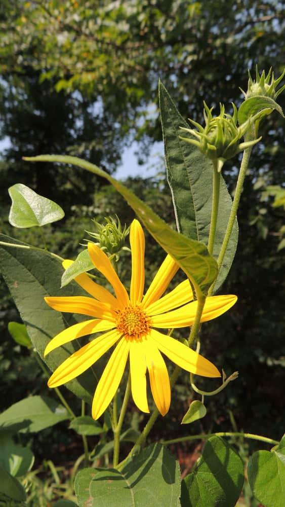 rosinweed sunflower_Helianthus silphioides