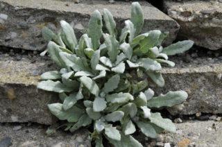 Sage (Salvia daghestanica)