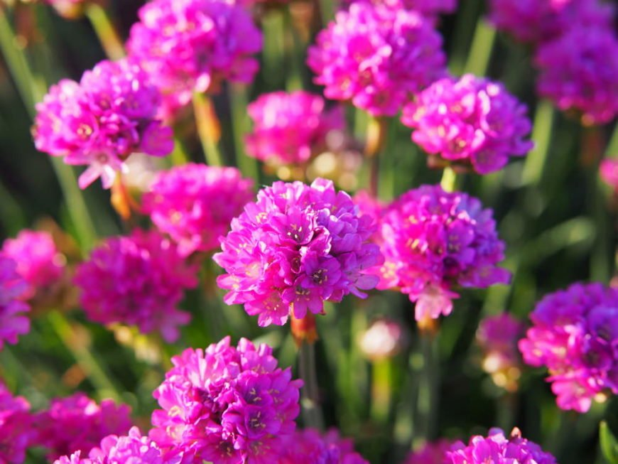 sea thrift_Armeria maritima