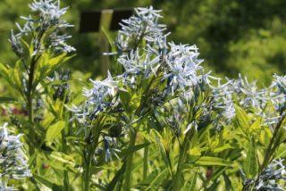 Shining blue star (Amsonia illustris)