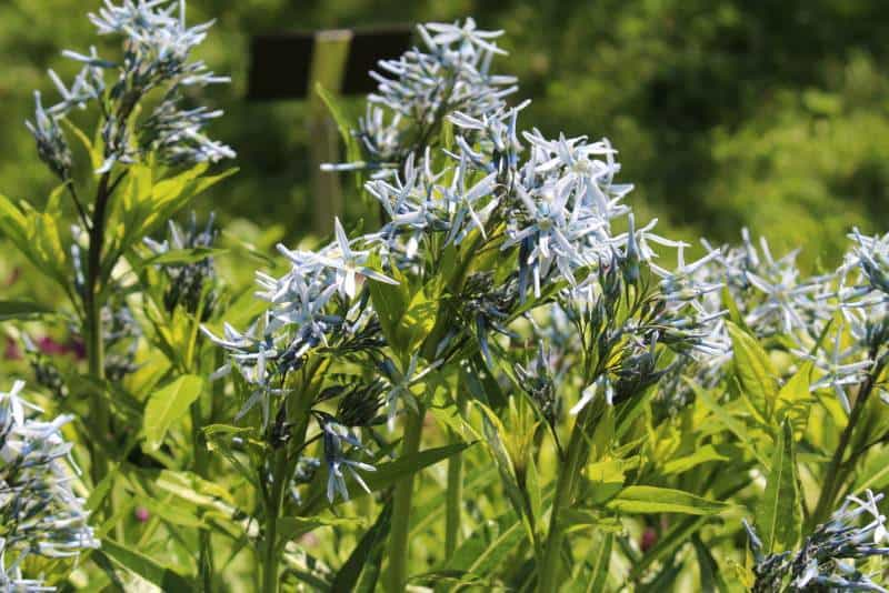 shining blue star_Amsonia illustris