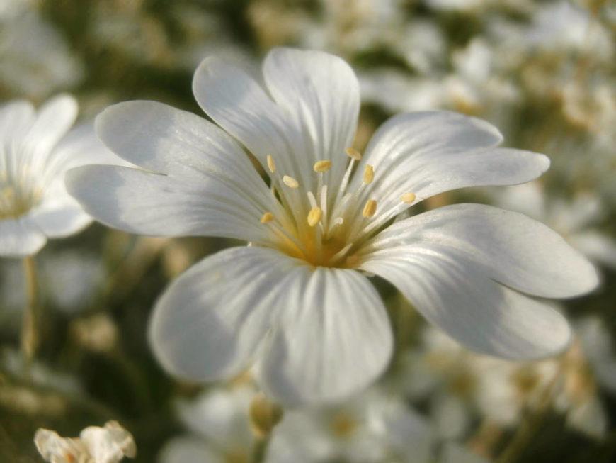 snow-in-summer_Cerastium tomentosum