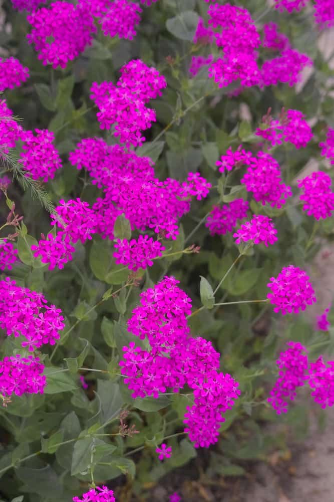 sweet William silene_Silene armeria