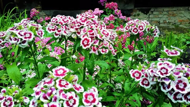 sweet William_Dianthus barbatus