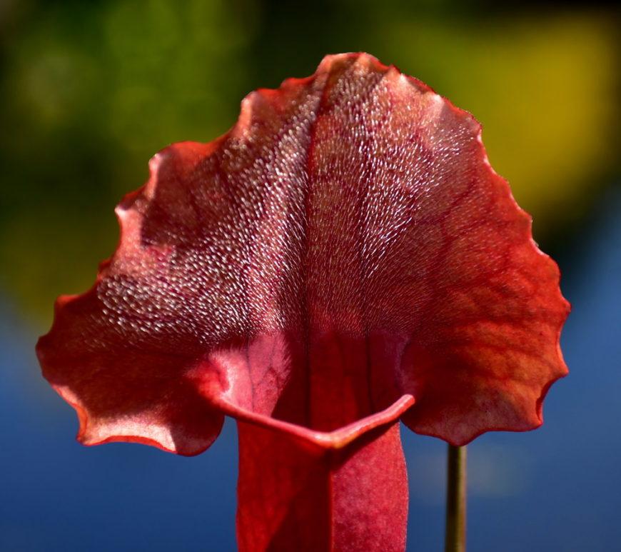 sweet pitcher plant_Sarracenia rubra