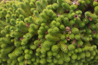 Tasteless stonecrop (Sedum sexangulare)