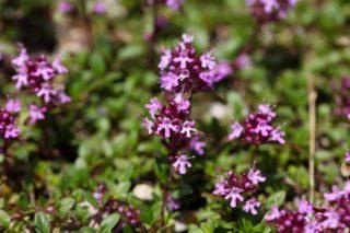 Thyme (Thymus praecox)