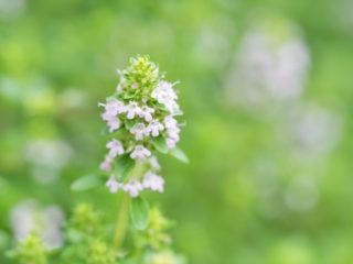 Thyme (Thymus quinquecostatus)