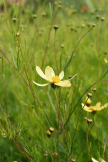 Tickseed (Coreopsis palmata)