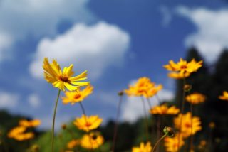 Tickseed (Coreopsis pubescens)