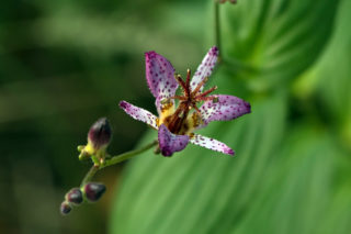 Toad lily (Tricyrtis formosana)
