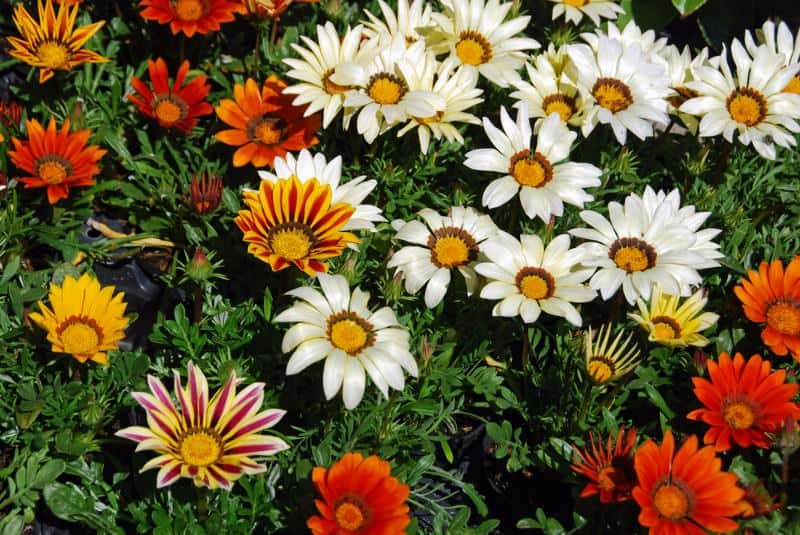 treasure flower_Gazania (group)