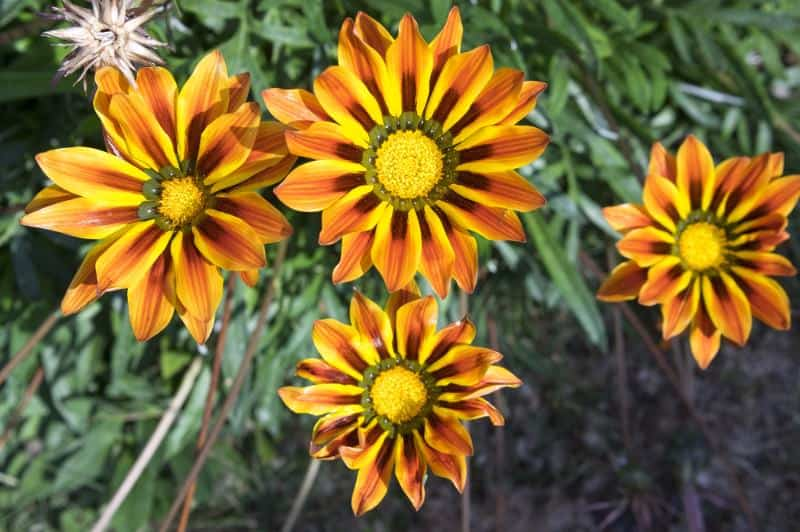 treasure flower_Gazania rigens