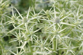 Variable-leaved sea holly (Eryngium variifolium)