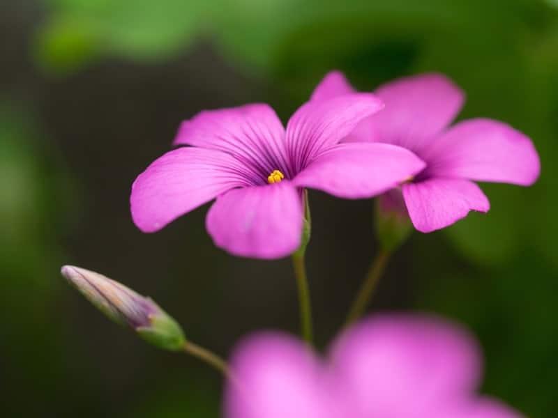 violet wood sorrel_Oxalis violacea
