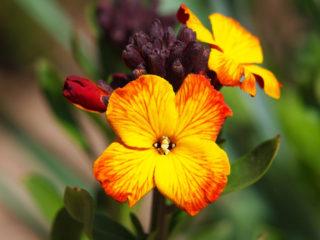 Wallflower (Erysimum cheiri)