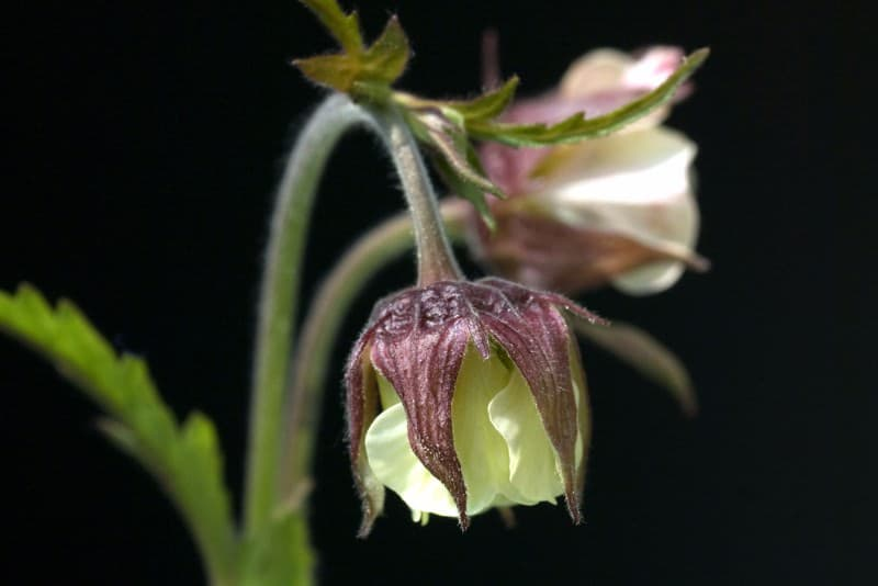 water avens_Geum rivale