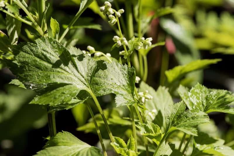 white mugwort_Artemisia lactiflora (Guizhou Group)