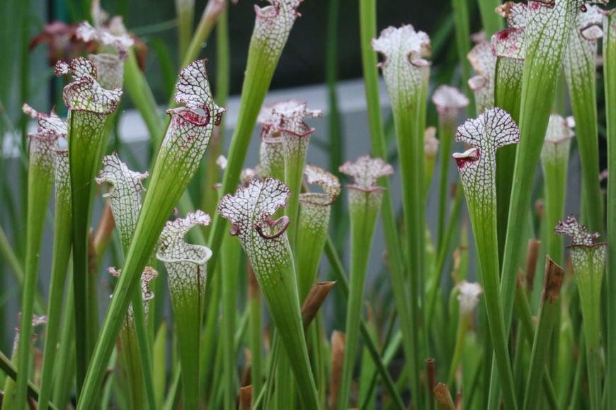 white trumpet pitcher plant_Sarracenia leucophylla