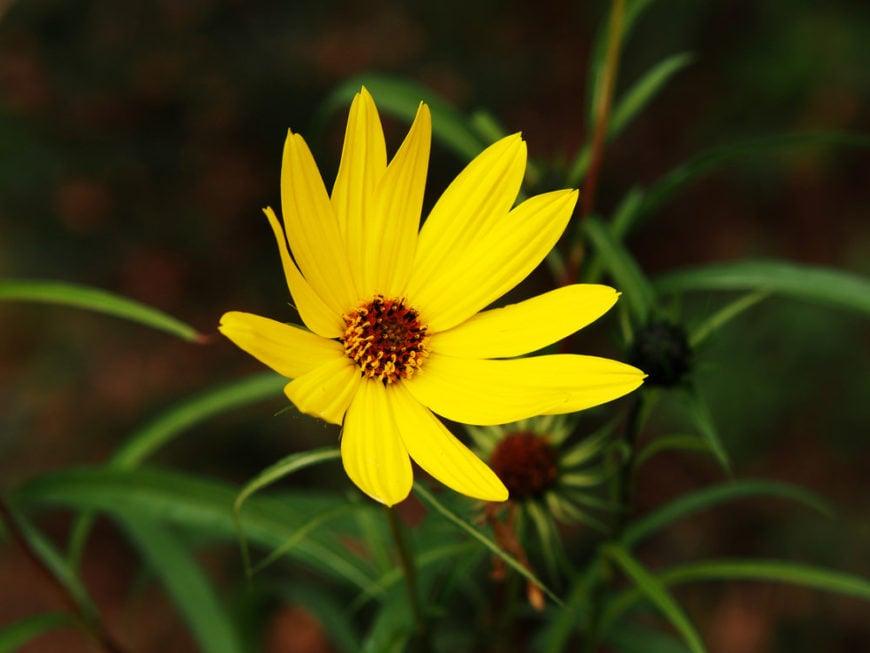 willow-leaved sunflower_Helianthus salicifolius