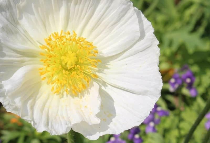 windflower_Anemone × hybrida 'Andrea Atkinson'