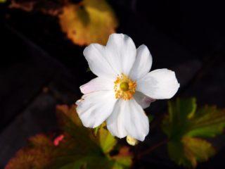 """Windflower (Anemone × hybrida """"Honorine Jobert"""")"""