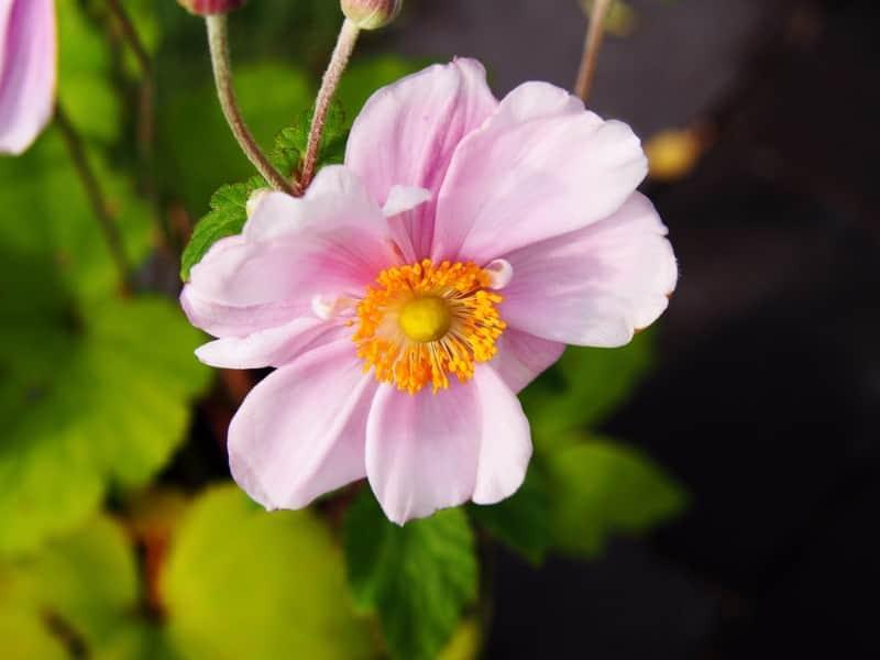 windflower_Anemone × hybrida 'Königin Charlotte' QUEEN CHARLOTTE