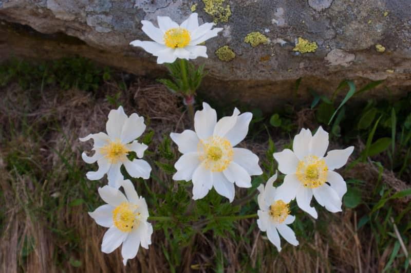windflower_Anemone narcissiflora