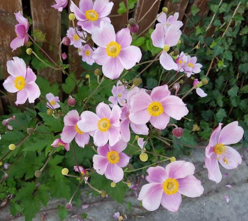 windflower_Anemone tomentosa
