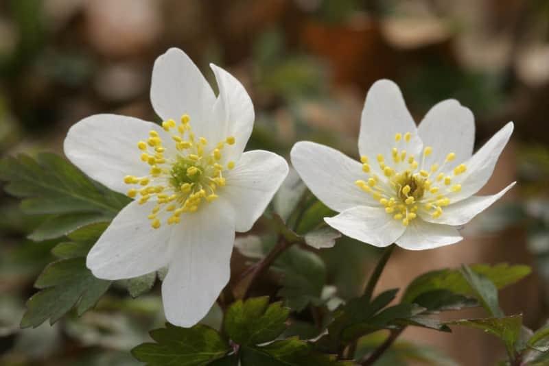 wood anemone_Anemone nemorosa 'Lychette'
